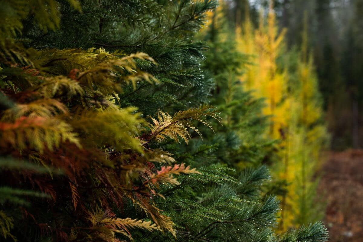close up of evergreen and Fall colored trees with water dripping