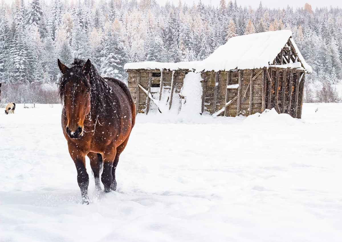 Draft horse walking through snow with old snow covered building in the background