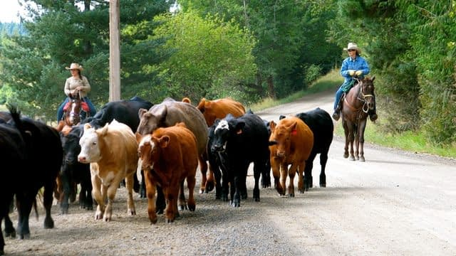 Driving cattle on the road