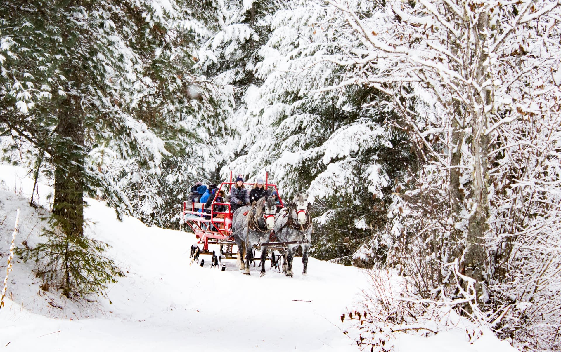 sleigh rides walking through the trees covered in snow and pulled by two percheron horses at Western Pleasure Guest Ranch