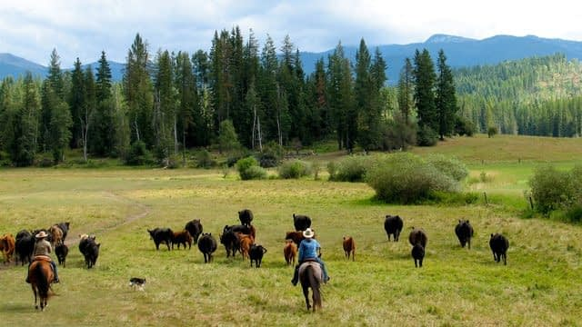 Driving cattle in the meadow