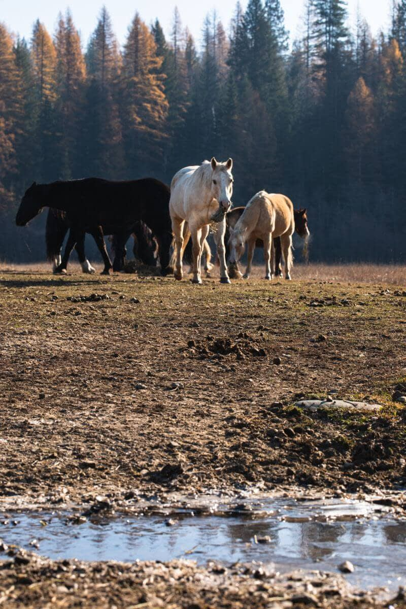 dude ranch horses in a pasture with fall colors in trees behind
