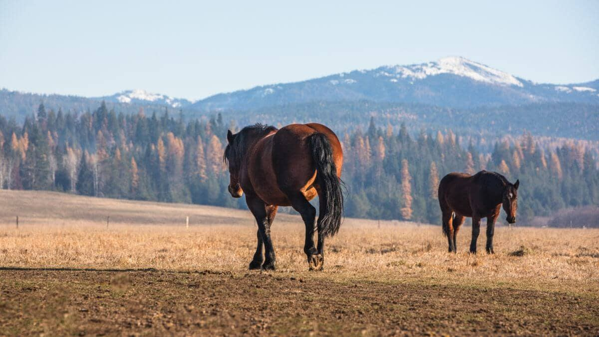 Draft horse walking away with Fall colors in the background and snow capped mountains