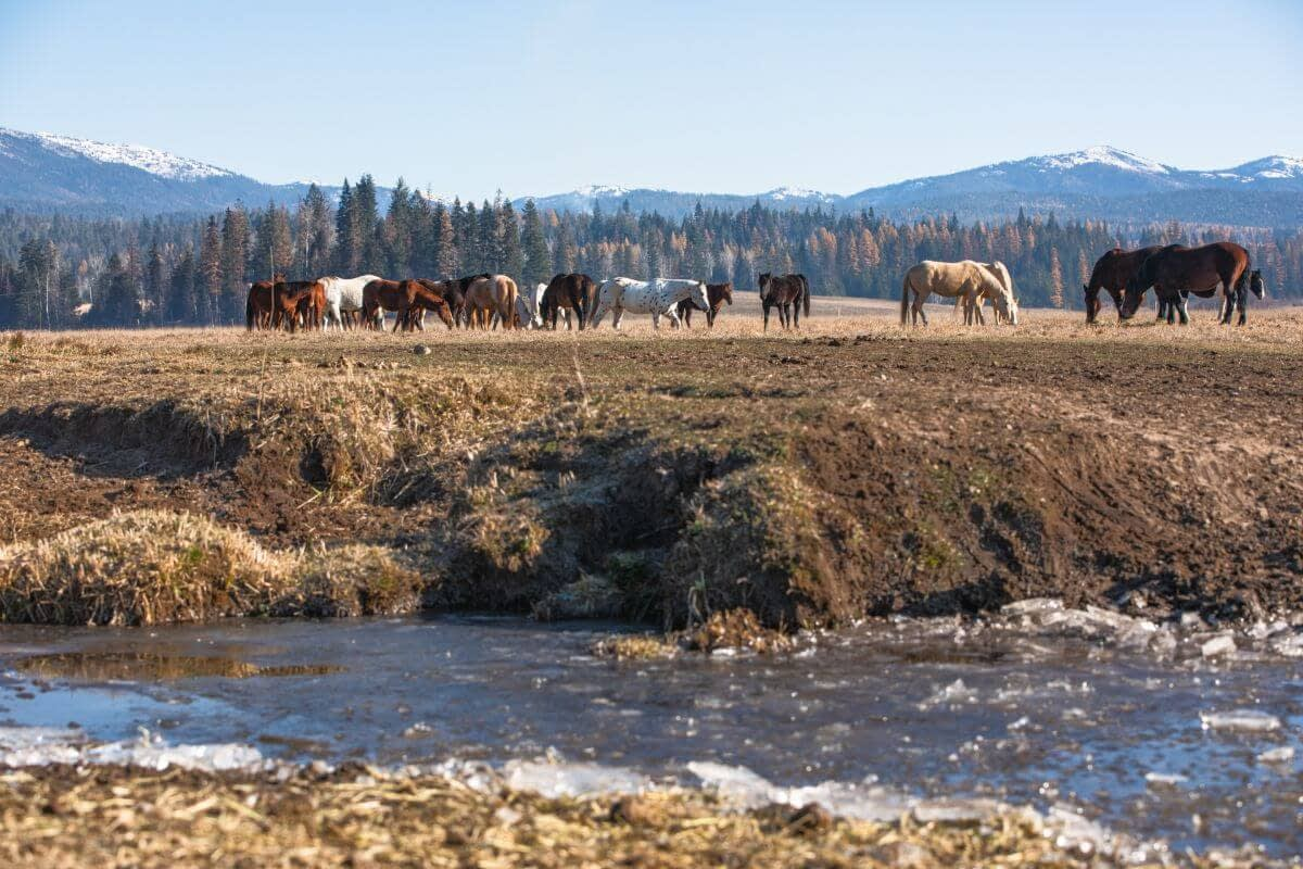 frozen stream with horses on pasture in the background and snow capped mountains