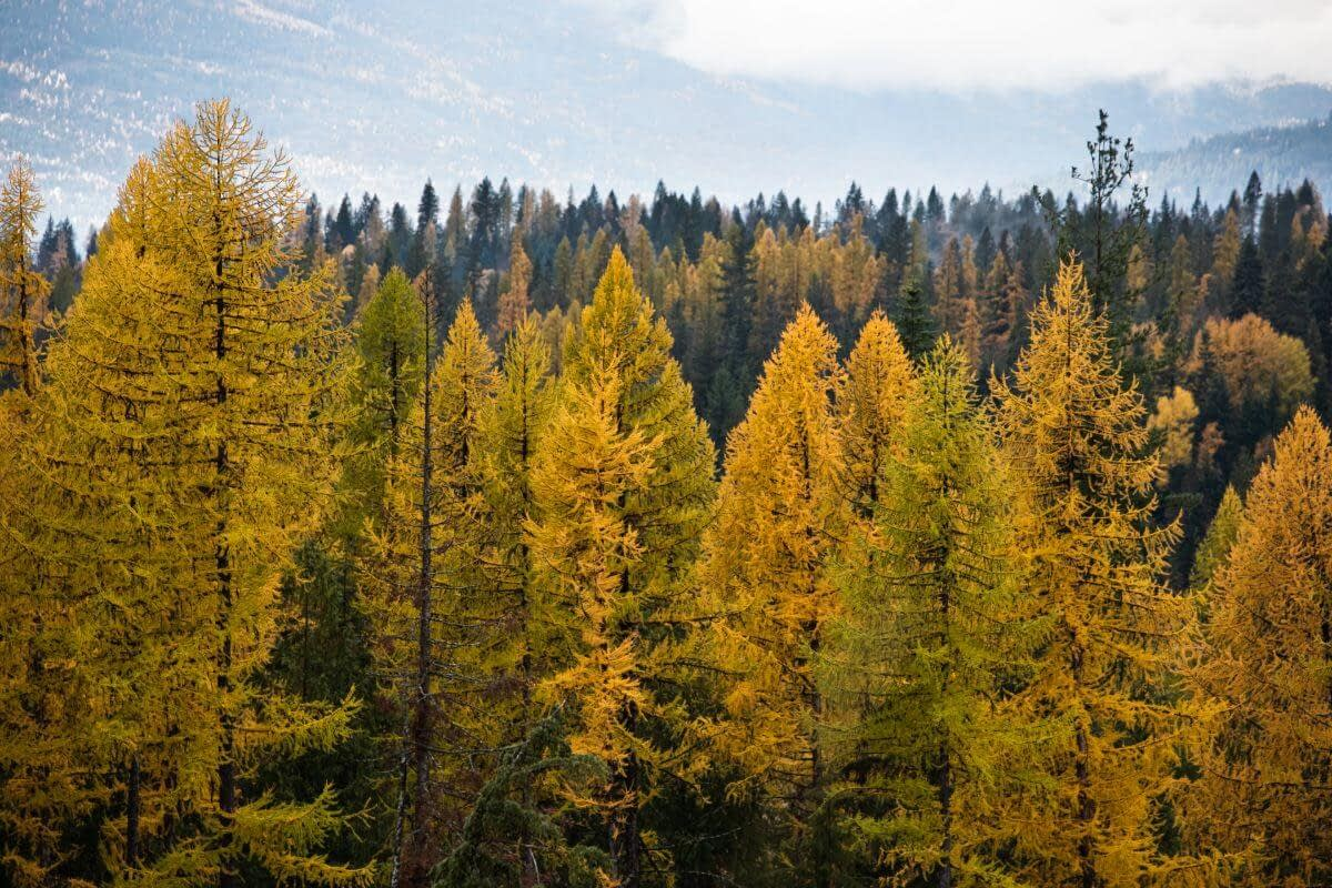 larch trees in brilliant yellow with mountains and fog behind
