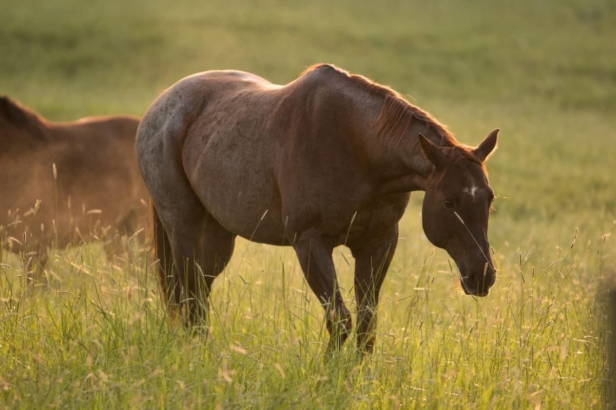 Red Roan Appaloosa walking through a grassy meadow in warm morning light